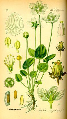 Parnassia palustris / Otto Wilhelm Thomé, Flora von Deutschland Österreich und der Schweiz (1885)