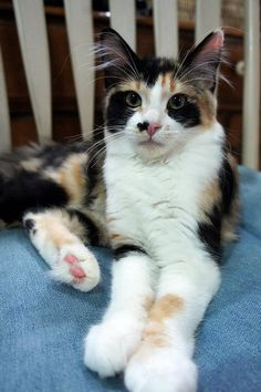 Fluffy Kittens, Cute Cats And Kittens, Cool Cats, Kittens Cutest, Beautiful Kittens, Pretty Cats, Animals Beautiful, Cute Animals, Gato Calico