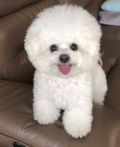 The Hottest Hairstyles for Your Dogs Fluffy Puppies, Cute Dogs And Puppies, Pet Dogs, Doggies, Bichon Dog, Teacup Chihuahua, My Bebe, Smiling Dogs, Cute Little Animals
