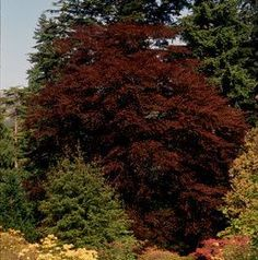 Fagus sylvatica 'Atropurpurea' Copper European Beech Treespreading oval to round crown. It has smooth bark which is grey in color. The leaves unfold deep red and darken in color to intense copper and