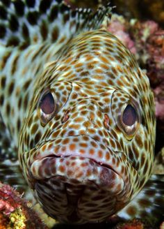 Grouper - by Laurent Ouillet Photography #Grouper