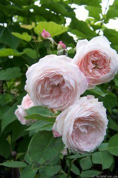 'Comtesse de Rocquigny' Rose ~ 1874