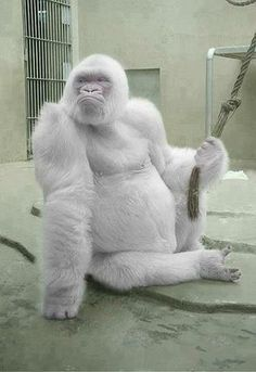 Snowflake Gorilla!! Snowflake is an albino gorilla. He is the only known albino…