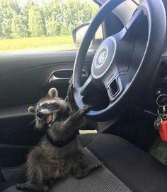 19 Trash Pandas Guaranteed To Brighten Your Day Baby Raccoon, Racoon, Rocket Raccoon, Cute Little Animals, Cute Funny Animals, Gato Animal, Cute Creatures, Animal Memes, Spirit Animal
