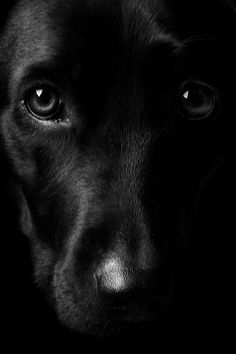Mind Blowing Facts About Labrador Retrievers And Ideas. Amazing Facts About Labrador Retrievers And Ideas. Beautiful Dogs, Animals Beautiful, I Love Dogs, Cute Dogs, Animals And Pets, Cute Animals, Dog Eyes, Puppy Eyes, Retriever Dog