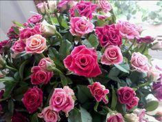 Kiss of rose