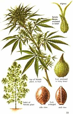 """Understanding the words used to describe cannabis anatomy can be intimidating. We've compiled a """"layman's glossary"""" of common cannabis terms to help! Cannabis Growing, Cannabis Plant, Marijuana Facts, Medical Cannabis, Hemp Seeds, Herbalism, Gardening, Google Search, Weed Plants"""