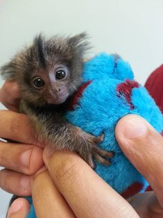 Zues is a week old Marmoset Monkey. He was so much fun to play with while we examined him. Baby Animals Super Cute, Cute Little Animals, Cute Funny Animals, Tiny Monkey, Cute Baby Monkey, Primates, Marmoset Monkey, Cute Animal Pictures, Cute Creatures
