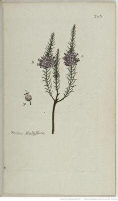 ERICA - Erica multiflora. La bruyère à bouquet