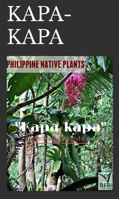 KAPA-KAPA (Medinilla magnifica) There are about 125 Medinilla species found in t… - Modern Forest Plants, Ornamental Plants, Landscaping Plants, Founded In, Native Plants, Landscape Architecture, Planting Flowers, Philippines, Orchids