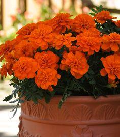 Bonanza Deep Orange Marigold from PanAmerican Seed