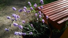 Kesäkukkia. Laventeli on aina yhtä ihana. Lavender for summer. It is always so lovely.