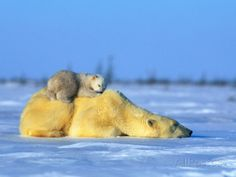 Polar Bear with Young Photographic Print by Norbert Rosing at AllPosters.com