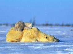 Polar Bear with Young