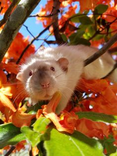 My siamese rat Bucky in honeysuckle bush.
