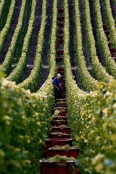 harvesting the vines ... Champagne, France
