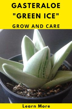 Succulent Care, Succulent Plants, Planting Succulents, Types Of Succulents, Gardening For Beginners, Aloe, Minimal, Earth, Pictures