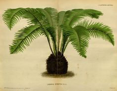 v.23 (1876) - L'Illustration horticole : - Biodiversity Heritage Library