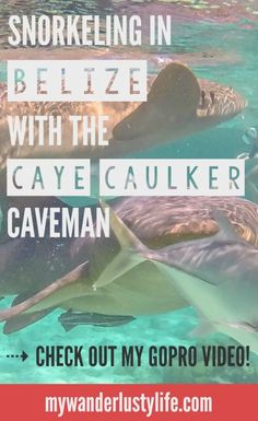 All about snorkeling in Caye Caulker, Belize with Caveman Snorkeling Tours. NINE snorkel stops and encounters with manatees, sea turtles, sharks, and rays. Exploring coral reefs and sunken ships, feeding frigate birds and tarpon fish.  Check out my GoPro video summarizing our amazing day in the Hol Chan Marine Reserve featuring music by a band called Sex Whales--that's a real thing.