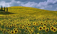 One of the most romantic places to see sunflowers is in Tuscany. There are fields all over the area in the height of summer, between medieval villages perched on hilltops. World Most Beautiful Place, Most Romantic Places, Beautiful Scenery, Gerbera, Sunflower Fields, Tuscany Italy, Amazing Flowers, Oh The Places You'll Go, Vacation Spots
