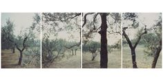 """JoAnne Verburg. """"Olive Trees After the Heat,"""" 1998. Four Fujicolor Crystal Archive prints, 40 1/8 x 28 in. (Image from Pace/MacGill Gallery.)"""