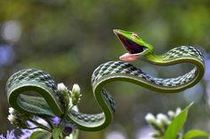 Oxybelis fulgidus, commonly known as the green vine snake, is a species of…