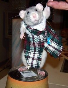 One of my favorite pictures of one of my favorite rats...the adorable Ruby in her kilt.