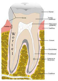 Developmental biology meets dentistry as scientists grow human teeth in test tubes. Stem For Kids, Science For Kids, Dental Hygiene, Dental Health, Human Teeth, Make Up Videos, Nursing Students, Primary School, Dentistry