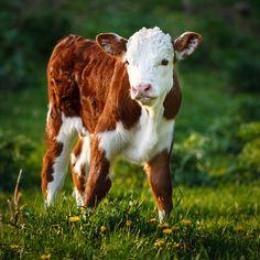 September 4, 2014 - Calf Sweetness - Hereford Bull Calf  2014©Barbara O'Brien Photography