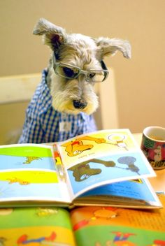 A schnauzer wearing clothes, glasses, and reading a book. Adorable!