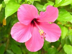 "In the Language of Flowers, Hibiscus or China Rose means ""Beauty Ever New"". It represents Delicate Love and in India the Hibiscus flower symbolizes the power of the Divine Feminine or the Mother Goddess. No wonder I've always loved them so much! My Secret Garden, Secret Gardens, China Rose, Flower Meanings, Language Of Flowers, Lush Garden, Flower Quotes, Hibiscus Flowers, Divine Feminine"