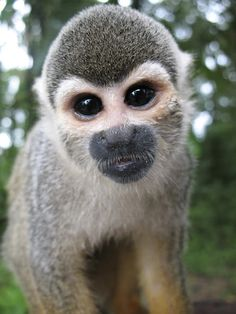 Squirrel Monkey, Colombia