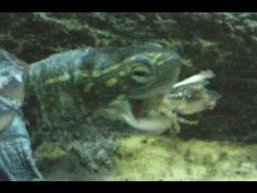 My 4 Turtles Eating Crickets CLOSE UP HD!