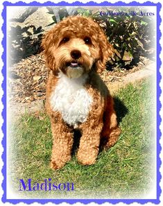Check out our list of all upcoming Goldendoodle litters and Double Doodle litters below. Please fill out the puppy application and we will contact you. Double Doodle Dog, Toy Goldendoodle, Doodle Dog Breeds, Golden Doodles, Cute Animals, Puppies, Dogs, Breads, Fill