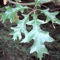 Quercus Palustris - Pin Oak  - Deciduous  - Requires moist acidic soil. Withstands wet conditions.  - Dimensions: 12x6 metres