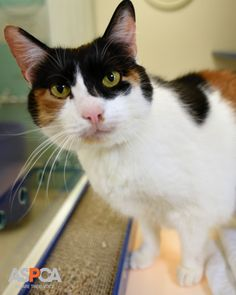 Found as a stray, Boots had a hard time finding the right family. After multiple unsuccessful adoptions and a health scare, this special cat finally met the perfect pet parent. Read Boots' uplifting story today! http://www.aspca.org/news/looking-everlasting-bond-boots-search-perfect-home