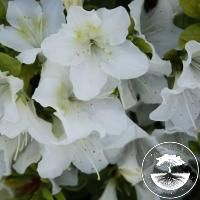 Rhododendron Japanese Azalea 'Pleasant White'