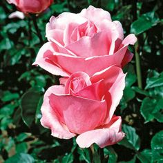 Grandiflora Rose Info & Top Varieties