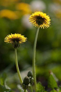 valscrapbook:  Dandelion (Taraxacum officinale) by Dr Steven Murray on Flickr.