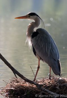 """the stork, any kind of heron, the hoopoe and the bat."" Leviticus 11:19"