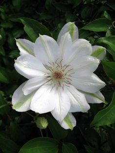 Clematis (Clematis 'Henryi') uploaded by goldfinch4