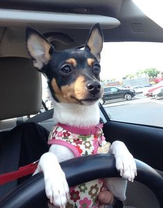 Penny taking her afternoon drive!