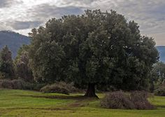 Ecco il leccio di Stroncone, in provincia di Terni, in Umbria. Terni in Terni, Umbria