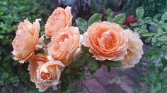 Crown princess Magaretta ดอกเป็นช่อ ดอกงามออกดอกง่าย