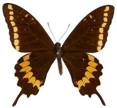 Papilio caiguanabus