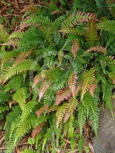 Doodia aspera, commonly known as Prickly Rasp Fern, is a widespread and common plant, growing in eastern Australia. Often seen in rainforest margins or eucalyptus forest in Victoria, New South Wales and Queensland, it is a terrestrial fern with reddish new growth