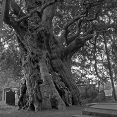 The Crowhurst Yew...Churchyard of the little Church at Crowhurst in Surrey...door was added by the villagers in the 19th century; the vicars used the tree for tea parties.  Hmmm....