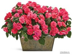 Rockapulco® Coral Reef Double Impatiens adds bright, vibe color to any shady spot in your garden.