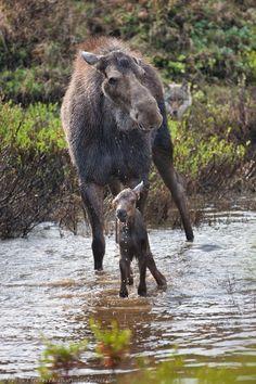 moose calf | Moose Mother & Calf, photography: Patrick J Endres