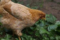 Raising chickens can get expensive, we've found 10 ways to dramatically cut the costs of feed